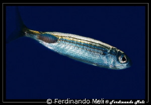 A fish whit its parasite by Ferdinando Meli 
